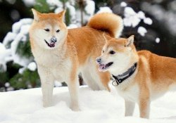 Meet 11 breed of japanese dogs - akitainu 11